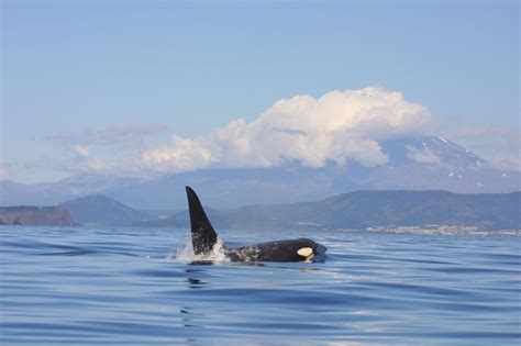 Meet the different types of orcas - Whale & Dolphin