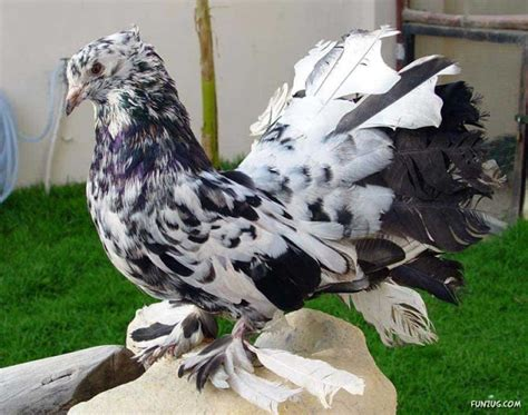 Have you Ever Seen Such Royal Pigeons?