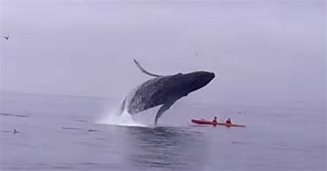 Breaching Humpback Whale Lands On Top Of Kayakers