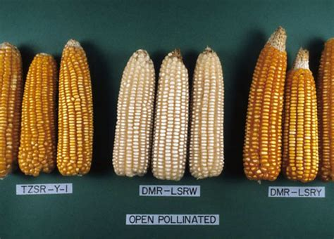Open-pollinated maize varieties | Open-pollinated maize