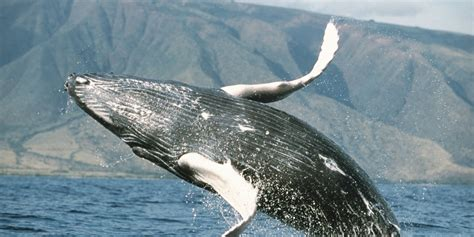 Counting Whales In Hawaii Might Be The Best Volunteer